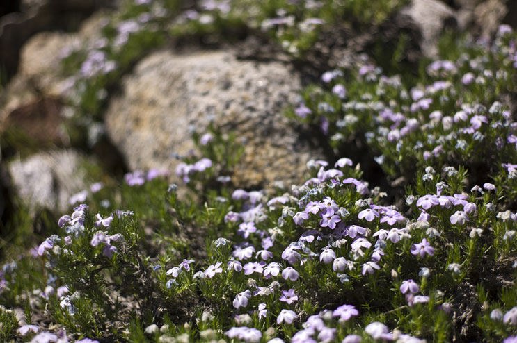 Granite Gilia (Leptodactylon pungens) grow along the trail from Rancheria Falls to Tiltill Valley at Yosemite National Park, May 24, 2011.