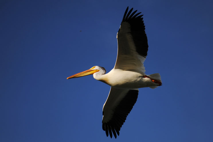 A pelican flies over Standley Lake in Arvada, Colo., Sunday, June 12, 2011.