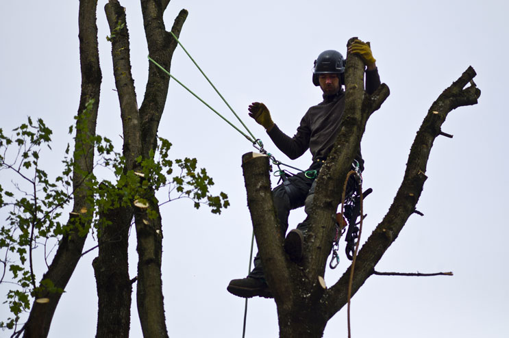 Arborist Christoph Chevallier, of Freising, Germany, climbs on a maple tree to prepare it for felling at a construction site in Pasing by Munich, Wednesday, October 12, 2011.