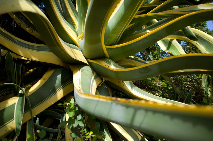 A huge agave spreads its leaves at the Percorso del Monserrato hiking trail in Porto Azzuro, Wednesday, June 16, 2012.