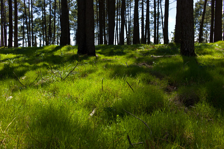 Pine trees cast their shadows on the grass underneath at Mount Calamita, Capoliveri, Tuesday, May 22, 2012.