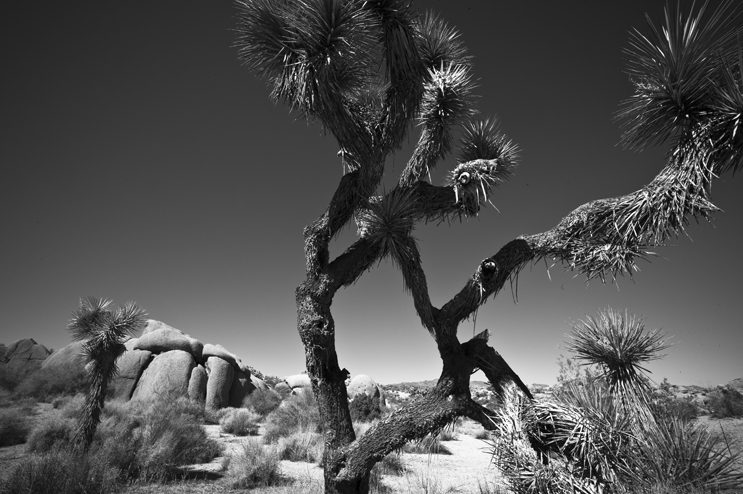 A Joshua Tree (Yucca brevifolia) grows in the Mojave Desert near Jumbo Rocks Campground at Joshua Tree National Park, Calif., Thursday, February 24, 2011. The name Joshua tree was given by a group of Mormon settlers who crossed the Mojave Desert in the mid-19th century. The tree's unique shape reminded them of a Biblical story in which Joshua reaches his hands up to the sky in prayer.