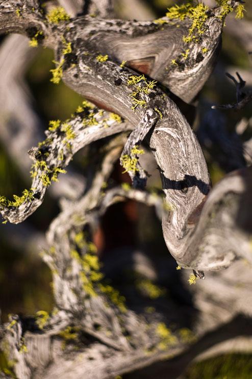 Yellow lichen grows on a dead Manzanita (Arctostaphylos) shrub near Rancheria Falls at Yosemite National Park, May 23, 2011.