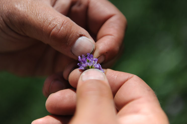 David Dechant picks apart an Alfalfa bud on his farm in Fort Lupton, Colo., Thursday, June 16, 2011.