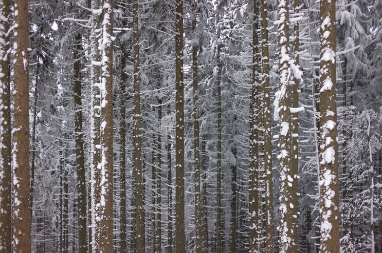 Snow has frosted the stems of a forest along the trail from the Höllenbachtal to the Aueralm at lake Tegernsee in Bavaria, Friday, February 10, 2012.