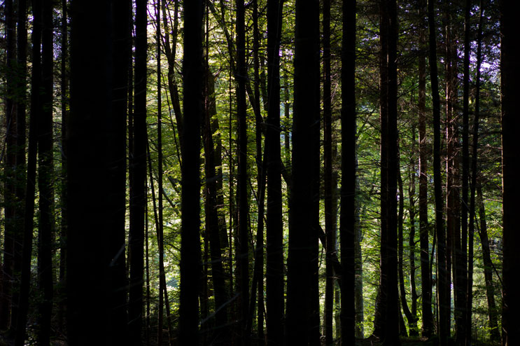 The light shines through a thick beech forest in the Mangfall valley near Hohendilching, Sunday, September 9, 2012.