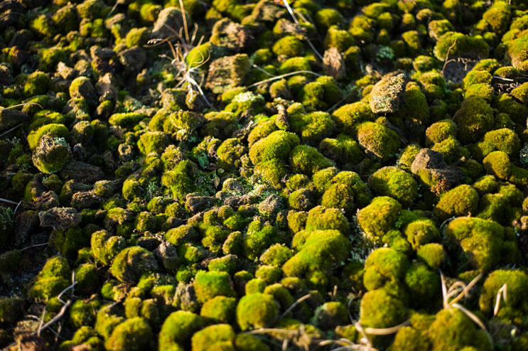 A patch of moss grows in the dunes on the southern part of Sylt. Wednesday, December 4, 2013.